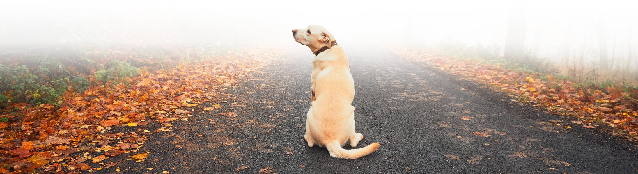 Hund der Rasse Golden Retriever Labrador Misch, welcher auf einem mit Herbstblättern bedecktem Waldweg einsam sitzt und dabei nach oben links schaut