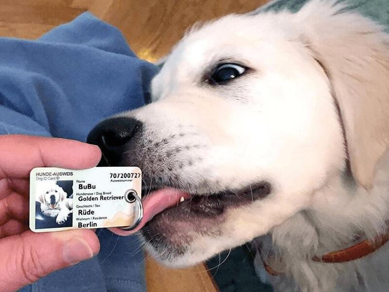 Hund der Rasse Golden Retriever, welcher einen Hundeausweis abschleckt