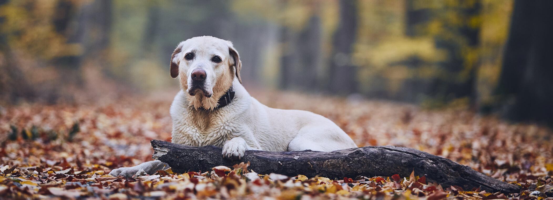 Hund der Rasse Golden Retriever Labrador Misch liegt im Wald und hat eine Pfote auf einem alten Stück Holz. Der Hund ist nass und friert.
