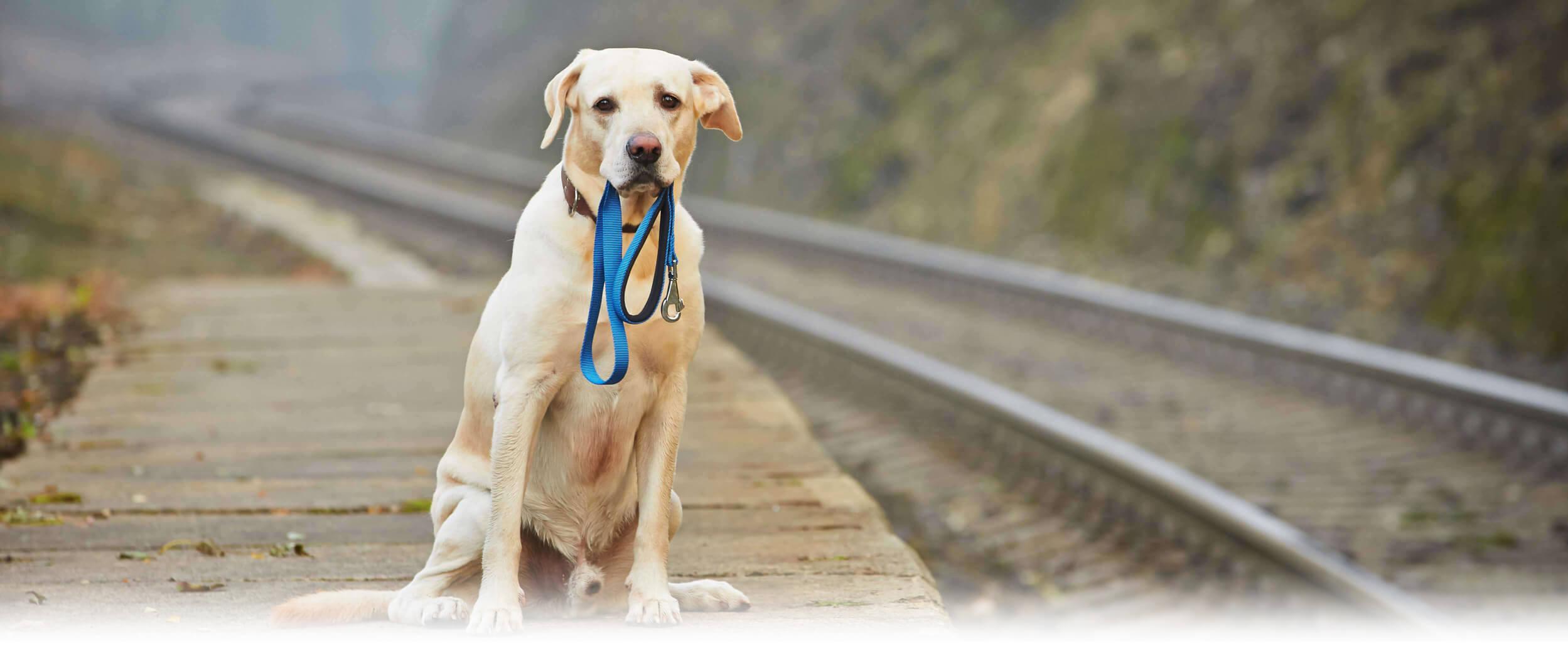 Hund der Rasse Golden Retriever Labrador Misch steht alleine auf einem Bahnsteig und hat eine Hundeleine im Maul. Er schaut verstört und verängstigt.