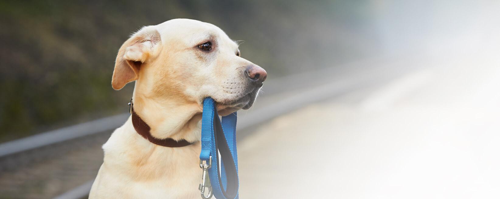 Hund mit einer Leine im Maul, welcher nach Rechts schaut