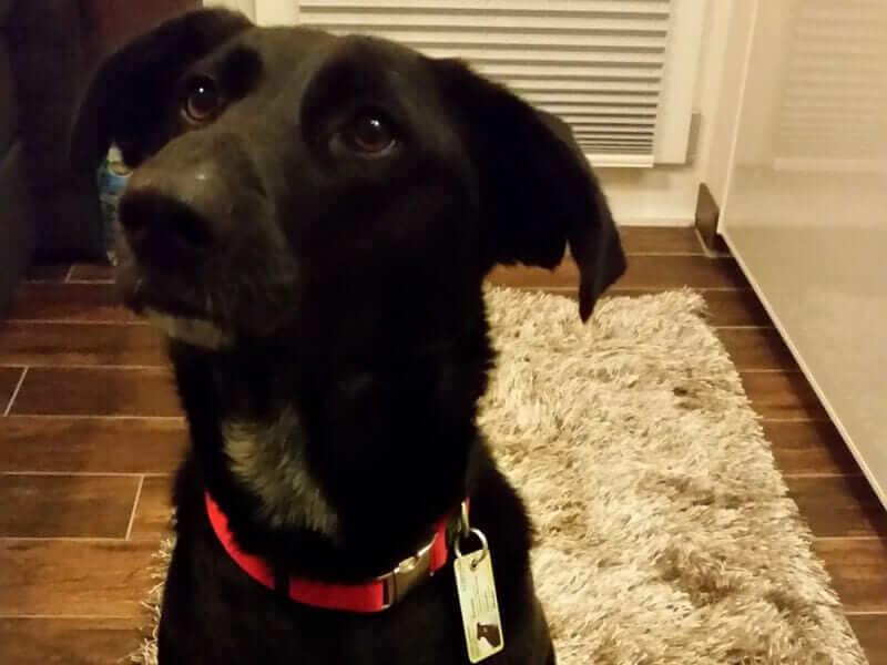 Ein Mischling Hund eines Kunden, welcher einen Hundeausweis trägt