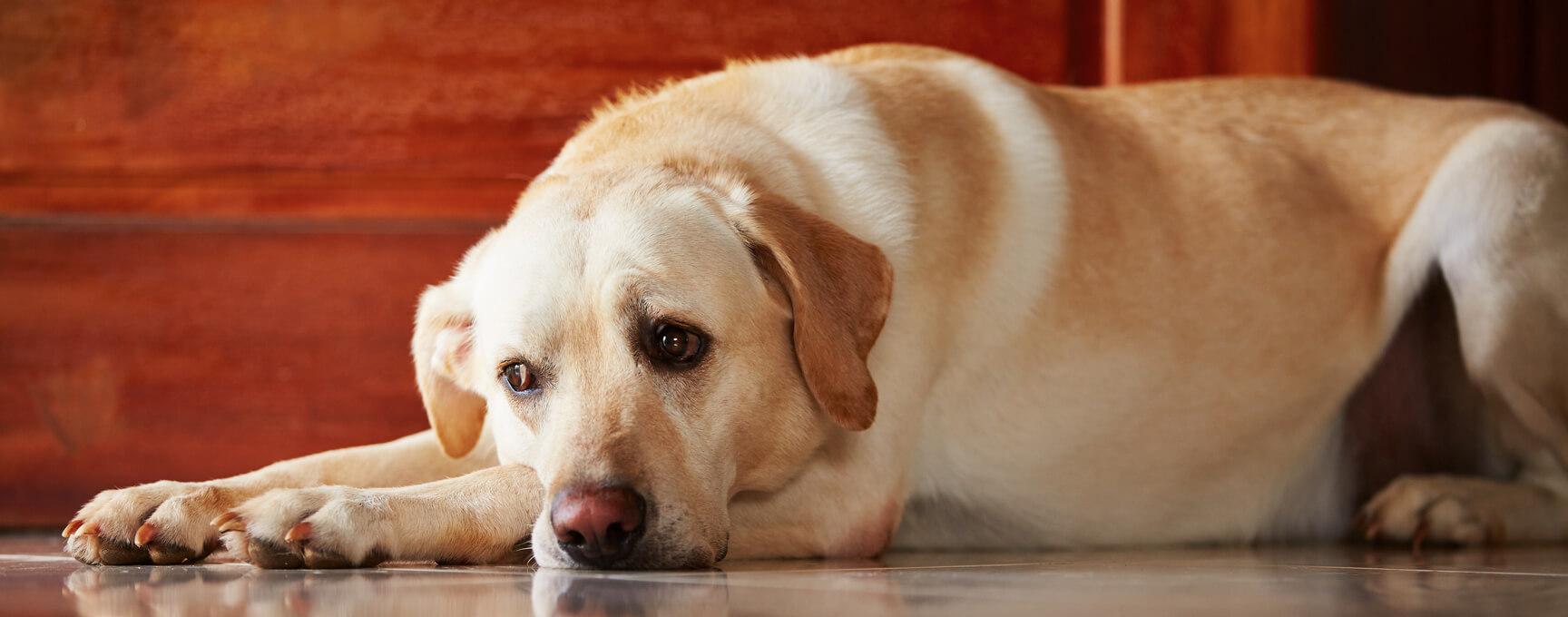Hund der Rasse Golden Retriever Labrador Misch liegt auf Fließen und schaut dabei sehr traurigt, weil der alleine daheim ist niemand da ist.